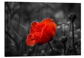 Julia Delgado - Red poppy on black and white background