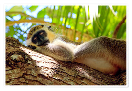 Premium poster  Green monkey sleeping, Barbados - Matteo Colombo