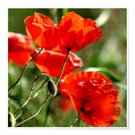 Premium poster Luminous poppy on meadow