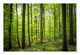 Premium poster Fresh Green - Beech forest in Harz