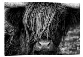 Acrylic print  Scottish Highland Cattle - Martina Cross