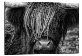 Alu-Dibond  Scottish Highland Cattle - Highlander - Martina Cross