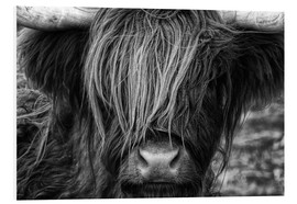 Forex  Scottish Highland Cattle - Martina Cross