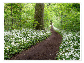 Poster Path through the Forest full of Wild Garlic