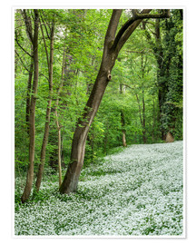 Poster Forest during Spring with everything covered by Wild Garlic