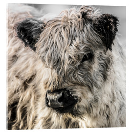 Acrylic print  Galloway calf - Christian Krammer