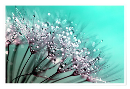 Premium poster Dandelion Seed Blowballs With Water Droplets