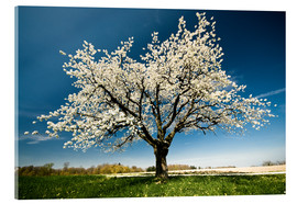 Acrylic glass  Single blossoming tree in spring - Peter Wey