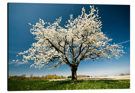 Aluminium print  Single blossoming tree in spring - Peter Wey