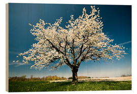 Wood print  Single blossoming tree in spring - Peter Wey
