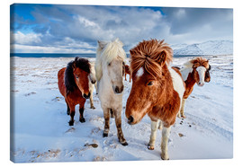 Canvas  icelandic horses in northern Iceland - Sascha Kilmer