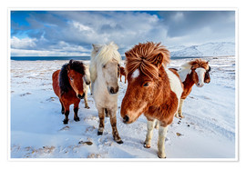 Premium poster icelandic horses in northern Iceland
