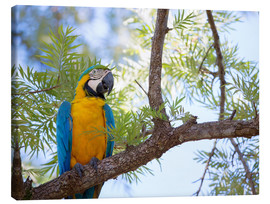 Canvas  Blue and yellow macaw - Alex Saberi