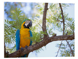 Foam board print  Macaw with yellow breast - Alex Saberi