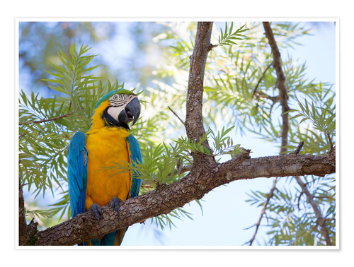 Premium poster Macaw with yellow breast