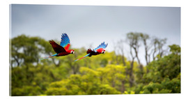 Acrylic print  Green-winged Macaws on journey - Alex Saberi