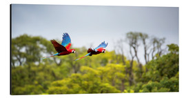 Aluminium print  Green-winged Macaws on journey - Alex Saberi