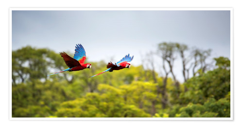 Premium poster Green-winged Macaws on journey