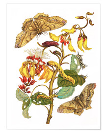 Premium poster  Coral tree and silkworm - Maria Sibylla Merian