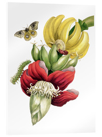 Acrylic print  Flowering Banana and Automeris - Maria Sibylla Merian