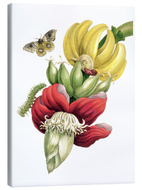 Canvas print  Flowering Banana and Automeris - Maria Sibylla Merian