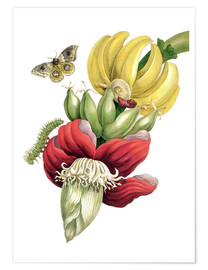 Premium poster  Flowering banana and Automeris - Maria Sibylla Merian