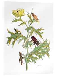 Acrylic print  Mexican Prickly Poppy and longhorn beetles - Maria Sibylla Merian