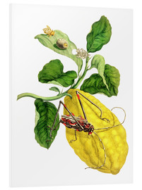Forex  Citrus medica and longhorn beetles - Maria Sibylla Merian