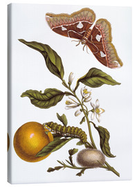 Canvas print  Orange and moths - Maria Sibylla Merian