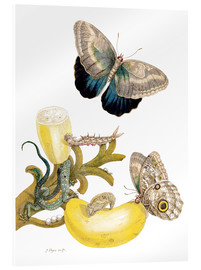Acrylic print  Banana fruit and Caligo - Maria Sibylla Merian