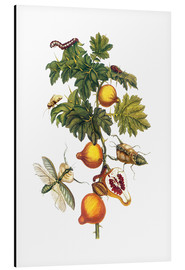 Alu-Dibond  Bat apple and mantis - Maria Sibylla Merian