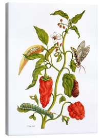 Canvas print  Peppers and insects - Maria Sibylla Merian