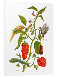 Foam board print  Peppers and insects - Maria Sibylla Merian