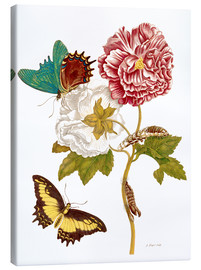Canvas print  Roses with Lepidoptera Metamorphosis - Maria Sibylla Merian