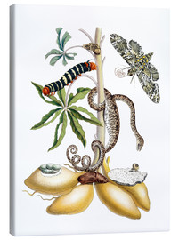 Canvas print  Cassava and giant horseshoe - Maria Sibylla Merian