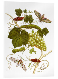 Acrylic print  Vine and moths - Maria Sibylla Merian