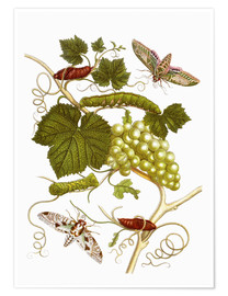 Premium poster  Vine and moths - Maria Sibylla Merian