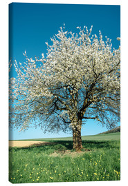 Canvas print  Blossoming cherry tree in spring on green field with blue sky - Peter Wey