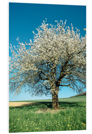 Foam board print  Blossoming cherry tree in spring on green field with blue sky - Peter Wey