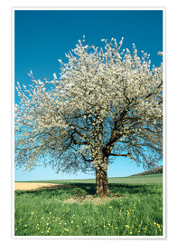 Premium poster Blossoming cherry tree in spring on green field with blue sky