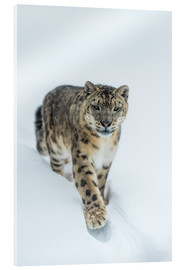 Acrylic glass  Snow Leopard in deep snow - Ingo Gerlach