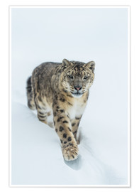 Premium poster Snow Leopard in deep snow