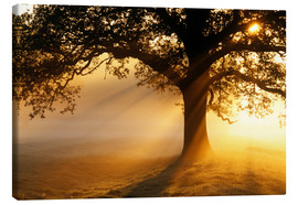 Canvas print  Oak tree at sunrise - Jeremy Walker
