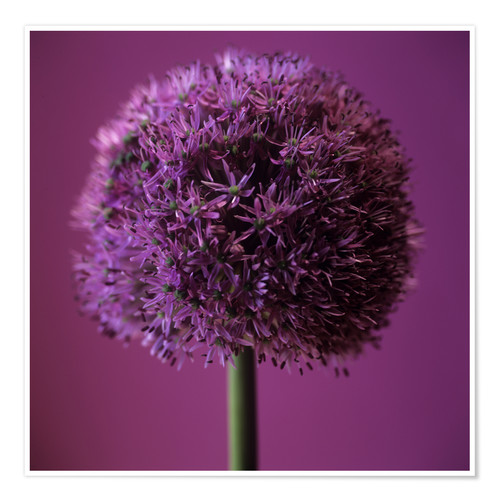 Premium poster Allium flower