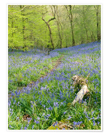 Premium poster Bluebells (Hyacinthoides sp.)