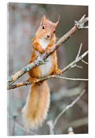 Acrylic print  Red squirrel on a branch - Duncan Shaw