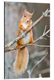 Aluminium print  Red squirrel on a branch - Duncan Shaw