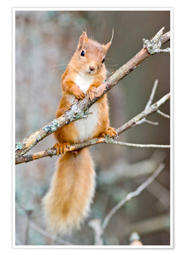 Premium poster Red squirrel on a branch