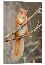 Wood print  Red squirrel on a branch - Duncan Shaw