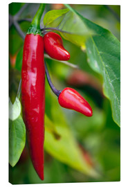 Canvas  Chili Peppers (Capsicum annum) - Maria Mosolova